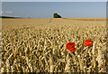 SE9728 : Poppies and wheat on Welton Wold by Paul Harrop