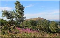 SO7641 : Rosebay Willowherb, Black Hill, Malverns by Bob Embleton