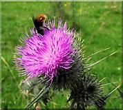 SJ8959 : Bee on a thistle by Jonathan Kington