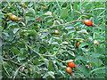 TQ3986 : Rose Hips ripening by Roger Jones