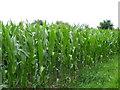 ST9341 : Maize crop near Knook by Maigheach-gheal