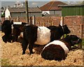 NX0660 : Belted Galloways by Andy Farrington