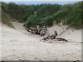 NZ2895 : Driftwood at Helmscotthill Links by Oliver Dixon