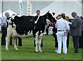 NX4254 : Cattle Competition by Andy Farrington