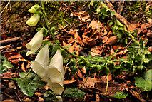 J4681 : White foxglove, Crawfordsburn Country Park by Albert Bridge