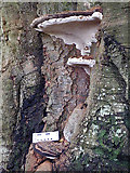 NN7922 : Bracket Fungus by Anne Burgess
