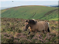 SX6981 : Dartmoor pony with helicopter by Stephen Craven