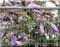 SJ9495 : Butterfly bush by Gerald England