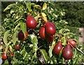 SE5158 : Pears, Beningbrough Hall gardens by Derek Harper