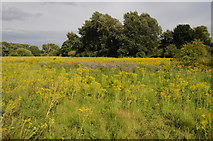 SU9778 : Infestion of ragwort near Windsor by Philip Halling