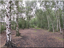 TQ2182 : Silver birch trees between the railway and canal by David Hawgood