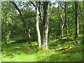 NN5908 : Oak woodland in the Pass of Leny by M J Richardson