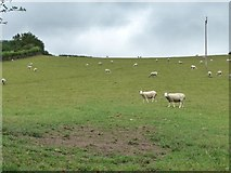 SO3276 : Sheep grazing on the hillside by Christine Johnstone