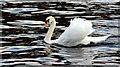 SU8586 : A swan a-swimming, Marlow, Buckinghamshire by Christine Matthews