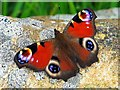 NZ1266 : Peacock butterfly (Inachis io), Heddon Butterfly Garden by Andrew Curtis