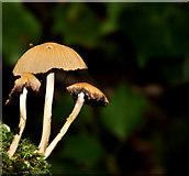 J4681 : Fungus, Crawfordsburn Country Park  2011-3 by Albert Bridge