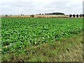 SE5113 : Sugar beets or mangolds? by Christine Johnstone