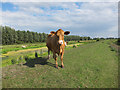 TL5373 : Cow at Wicken Washes by Hugh Venables