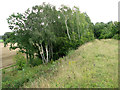 TF7511 : Silver birches growing on railway embankment, Narborough by Evelyn Simak