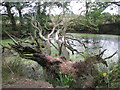 SP2279 : Dead oak fallen across a pond  by Robin Stott