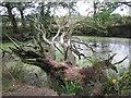 SP2279 : Dead oak fallen across a pond  by Robin Stott