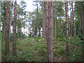 SP2279 : Scots Pine and Larch, Sixteen Acre Wood  by Robin Stott