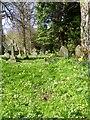 NZ2288 : Primroses in the churchyard, Longhirst by Maigheach-gheal