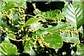 NS3975 : Leaf galls on common alder by Lairich Rig