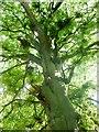 SU4679 : Beech tree, Dark Lane by Fly