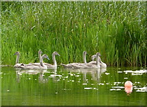 SE7170 : Seven cygnets a-swimming at Castle Howard by pam fray