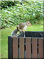 SZ0890 : Bournemouth: a squirrel on a bin by Chris Downer