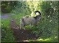 ST4654 : Goat above Cheddar by Derek Harper