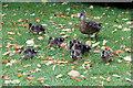 TQ8353 : Mallard (Anas platyrhynchos) by Christine Matthews