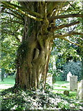 SU3940 : Yew tree, The Church of St Peter and Holy Cross by Maigheach-gheal