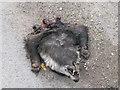 SX8182 : Front half of a dead badger  by Robin Stott