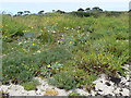 SV9210 : Dune Flora at Porth Hellick, St Mary's, Scilly by John Rostron