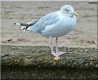 NS3321 : Herring Gull by Andy Farrington