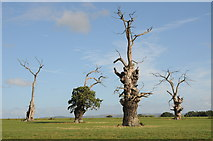 SO8732 : Old oak trees at Forthampton by Philip Halling