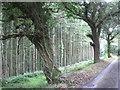 SX8283 : Roadside oaks at the edge of Fleetwood Plantation  by Robin Stott