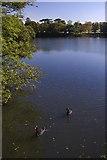 TR0047 : Black swans on Eastwell Lake by Paul Harrop