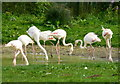 TF9429 : Flamingos at Pensthorpe Park, Norfolk by pam fray