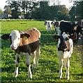 SU8284 : Calves at Hurley by Graham Horn