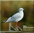 TQ0206 : Black-headed Gull, Arundel, Sussex by Peter Trimming