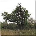 TQ5781 : Oak tree with striking profile by Roger Jones