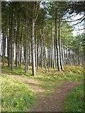 NS2209 : Woodland in the Culzean estate by Humphrey Bolton