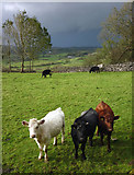 SD4389 : Curious cattle above Broad Oak by Karl and Ali