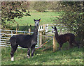 SD4289 : Town End alpacas by Karl and Ali