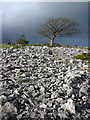 SD4488 : Tree and limestone scree, Township Allotment by Karl and Ali