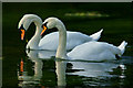 SU5631 : Mute Swans on the River Itchen, Hampshire by Peter Trimming
