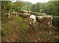 SY1292 : Cattle on the East Devon Way by Derek Harper
